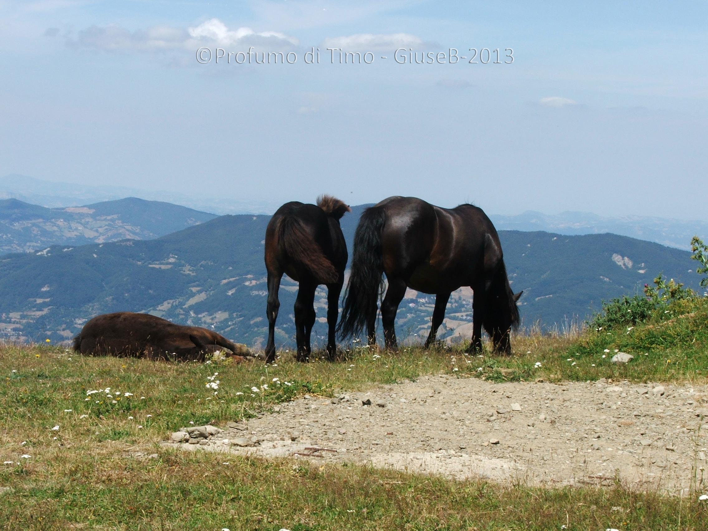 cavalli  (1)