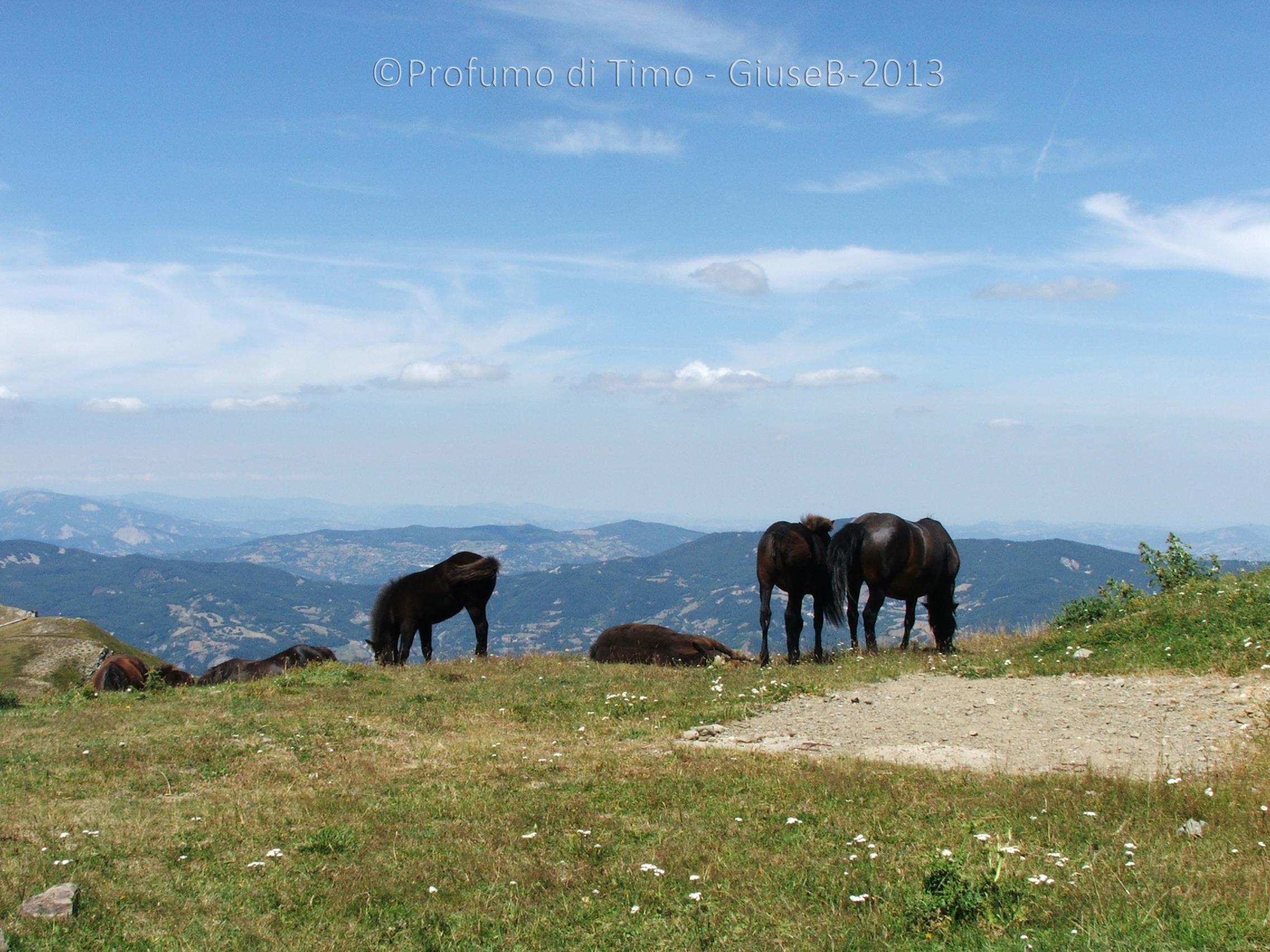 cavalli  (2)