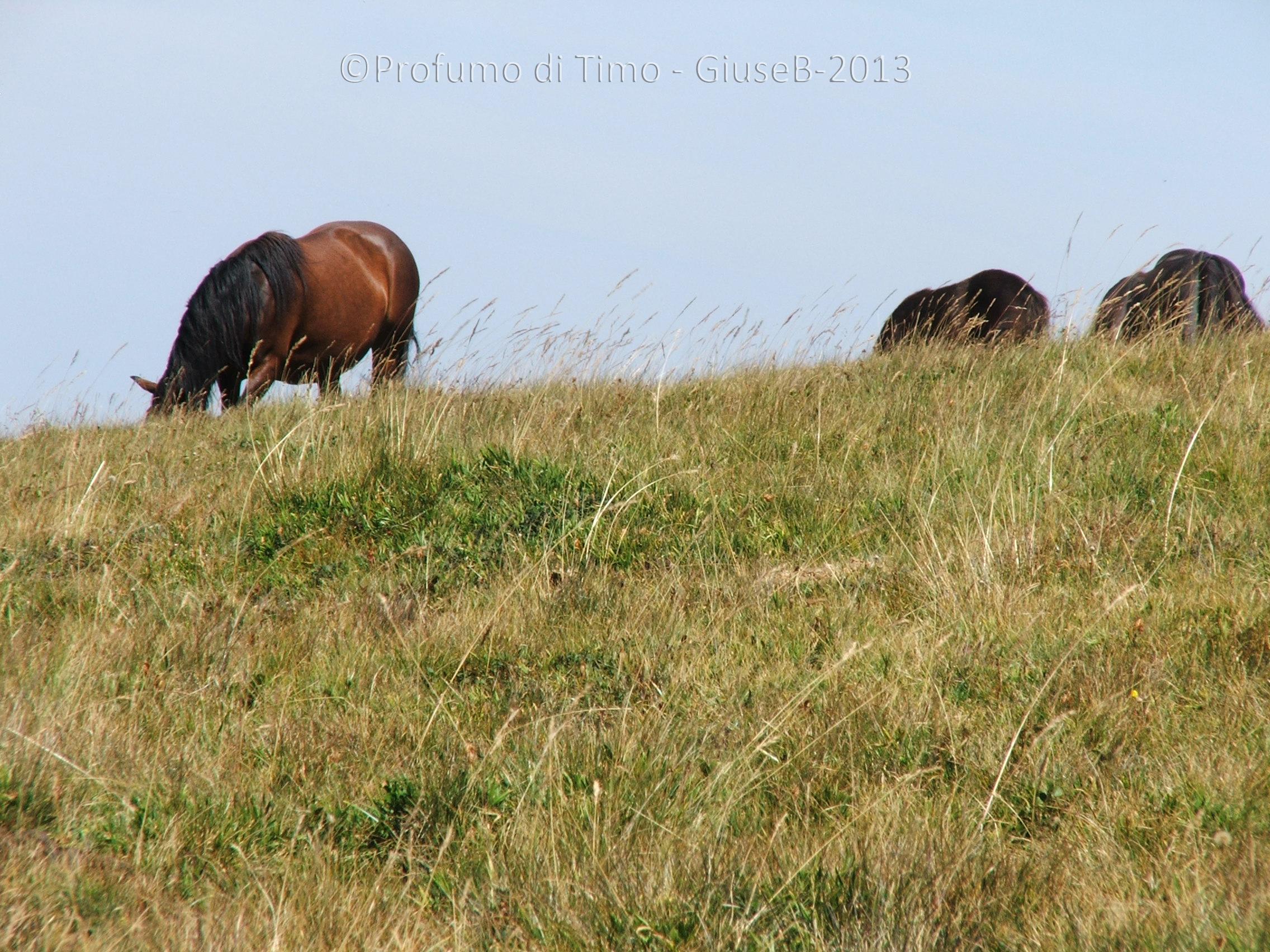 cavalli (5)