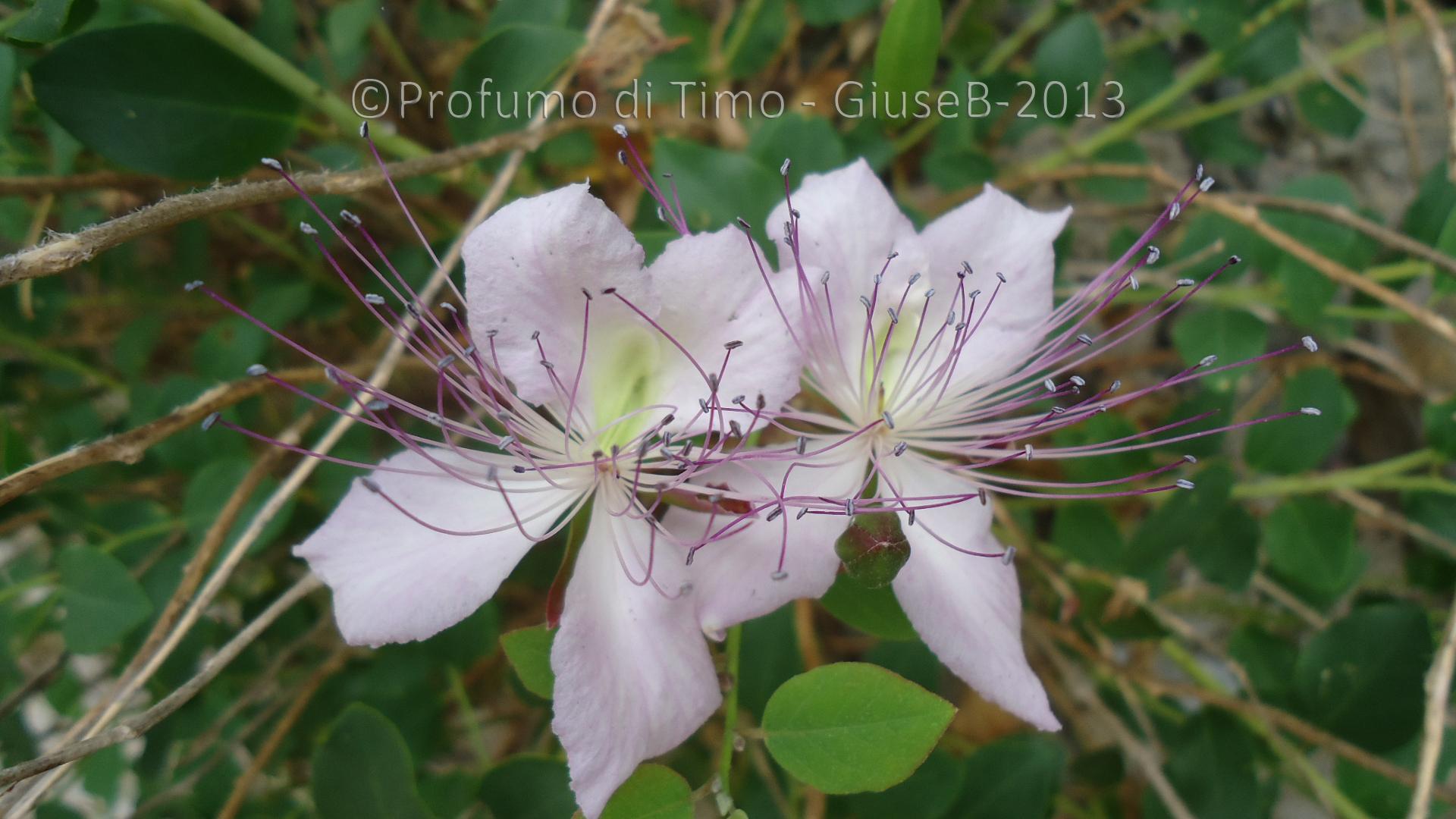 fiori di cappero