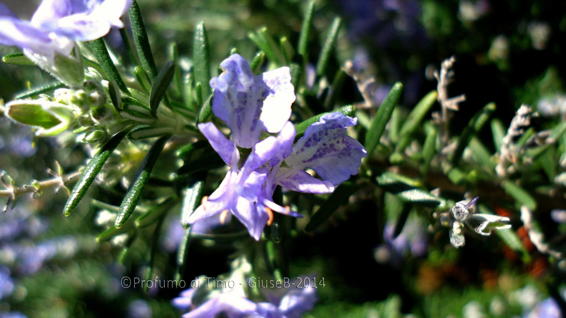 rosmarino in fiore (4)