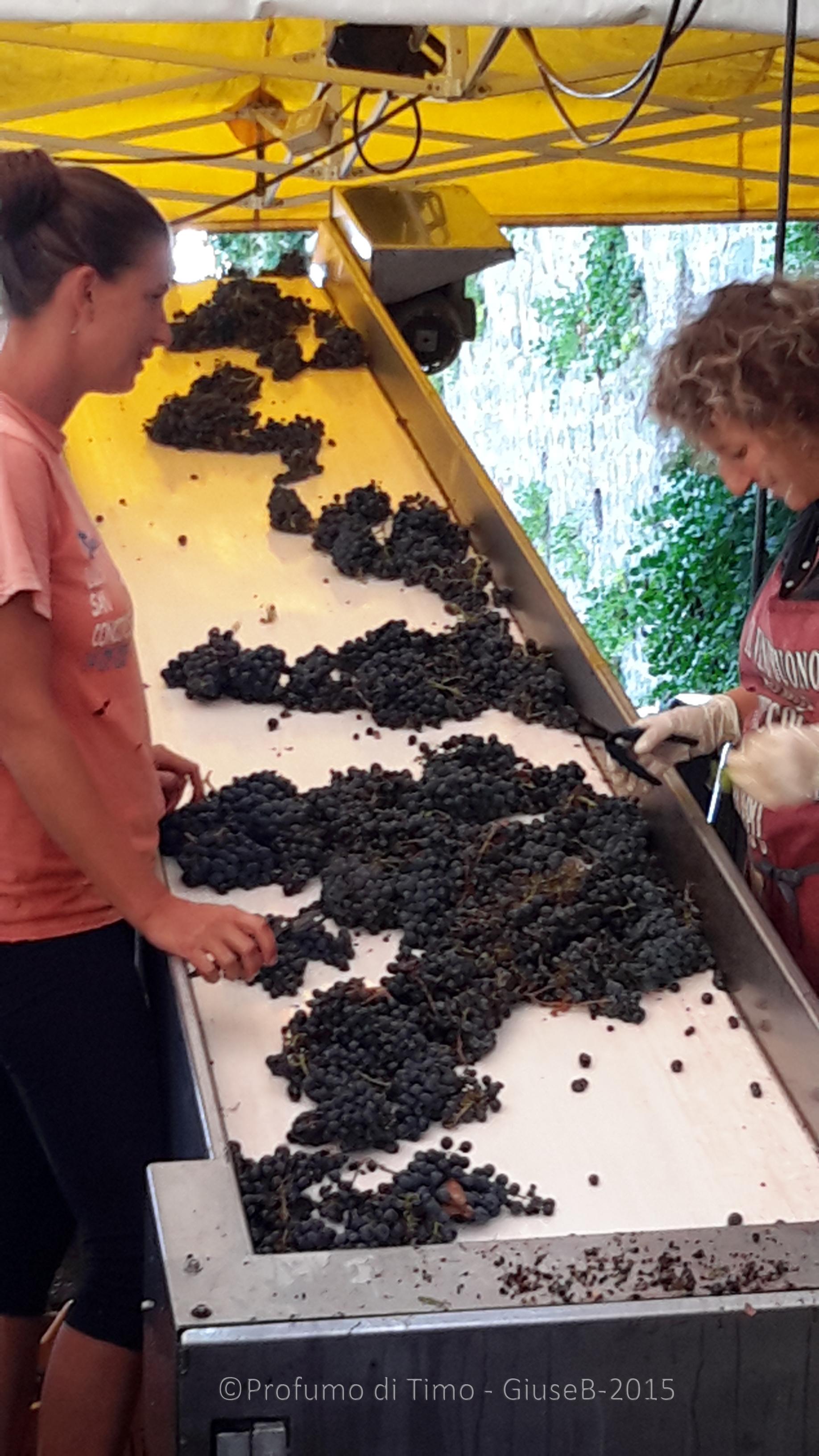 Vendemmia 2015 a Valgiano selezione grappoli