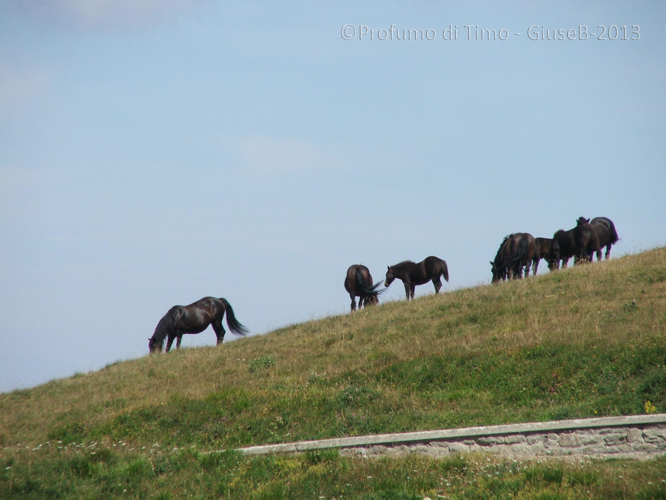 cavalli (4)